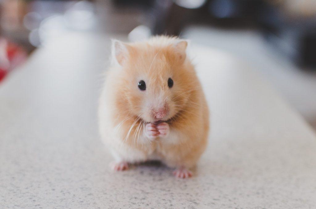 5 consigli su come prendersi cura dei criceti